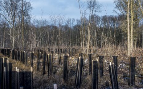 Reforested forest