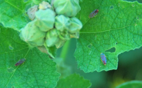 Leafhopper insects on plant