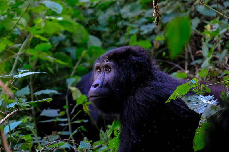 Ape in jungle