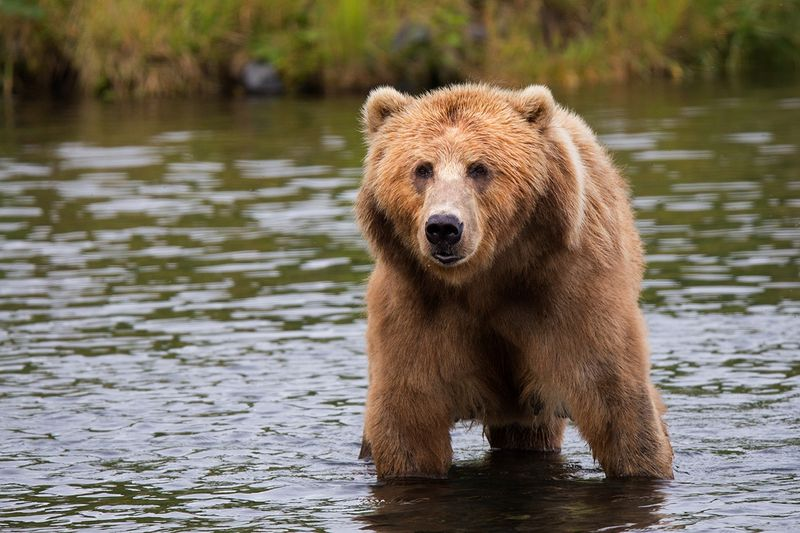 Brown Grizzly bear in river