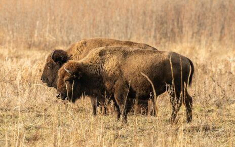 two bison grazing in field